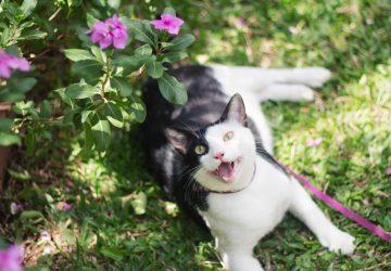 Walking the Cat | Cat Harness