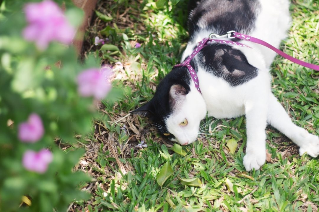 Walking the Cat | Cat Harness