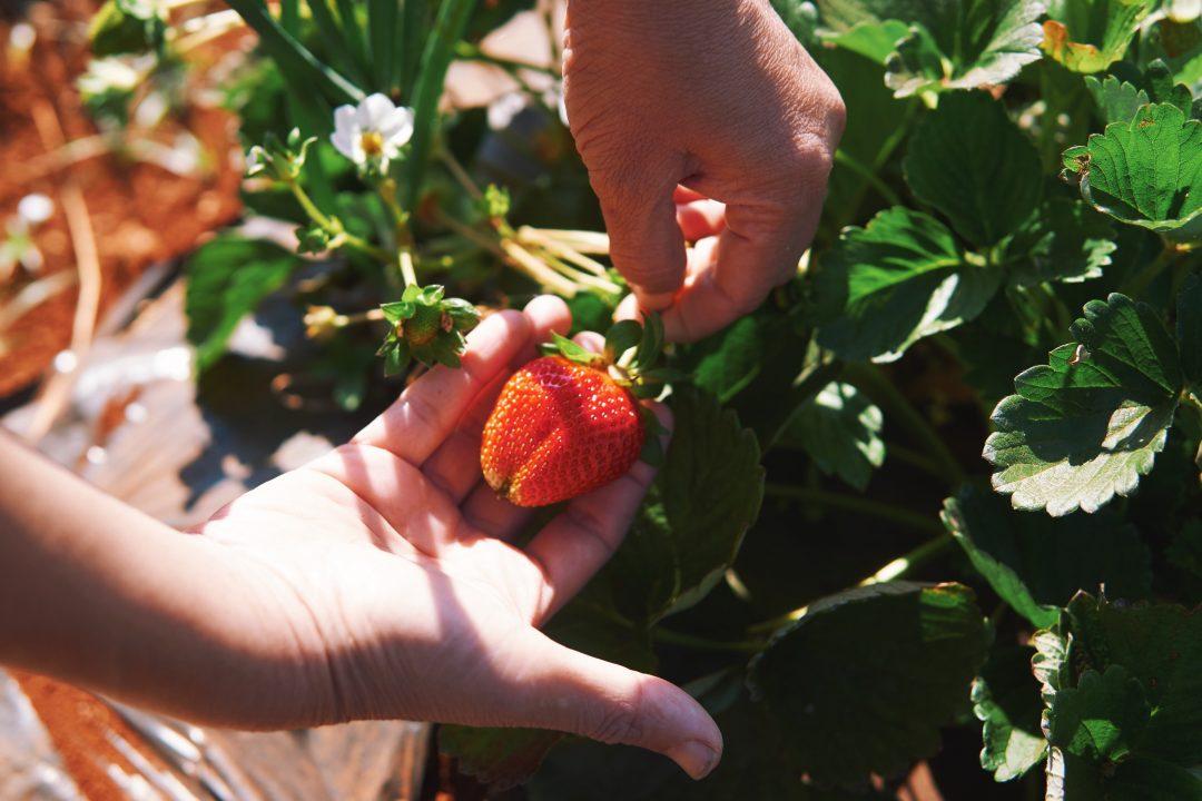Weekend Getaway to Mahabaleshwar   Strawberry Farms, Picking