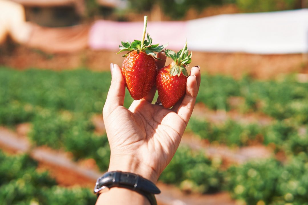 Weekend Getaway to Mahabaleshwar | Strawberry Farms, Picking